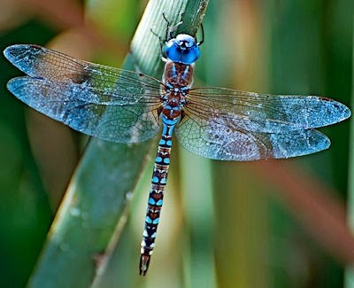 #54 Dragonfly